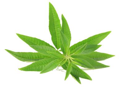 Tout savoir sur la verveine star de nos herboristeries au paradis du th - Planter de la verveine ...