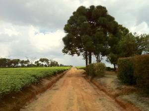 Champs de thé, pins... A Tout pousse à Madagascar