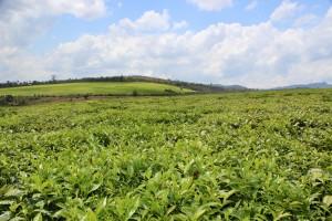 Panorama des champs de thé de Sahambavy