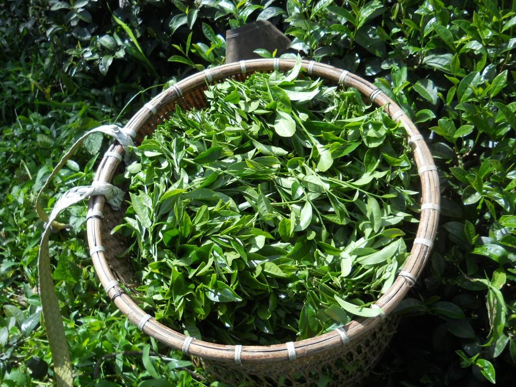 corbeille de thé vert après récolte