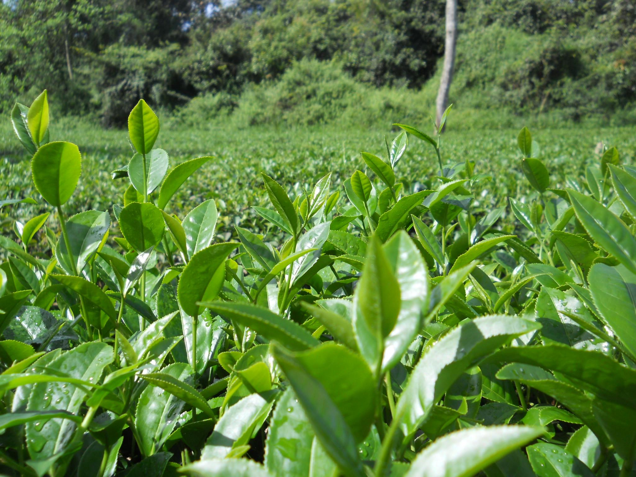 Cultiver du thé en France : premiers essais et début du journal de bord