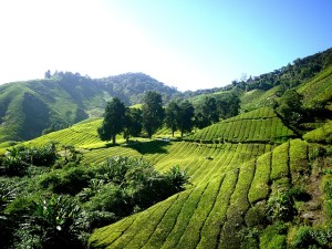Plantation de thé au Japon
