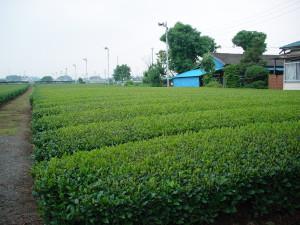 Plantation de thé vert au Japon