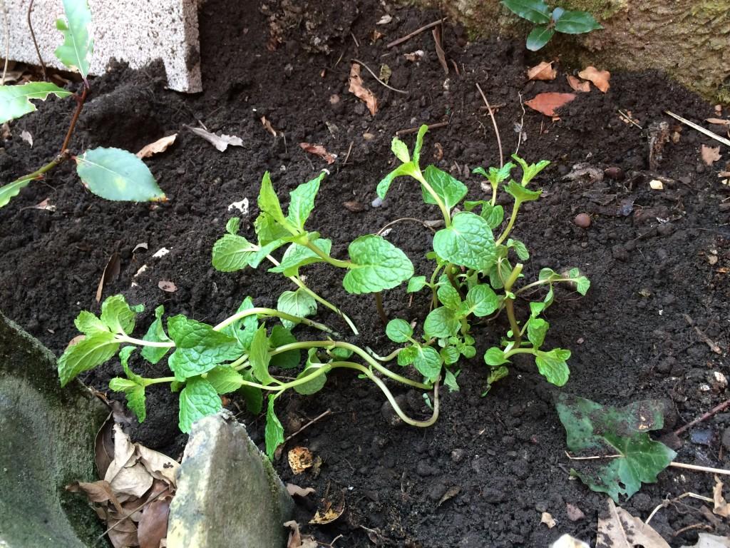 Menthe plantée en sol