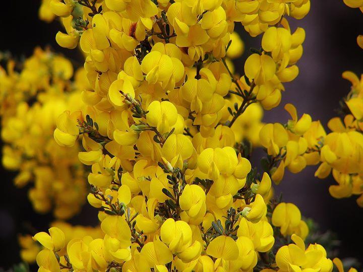 Honeybush en fleur