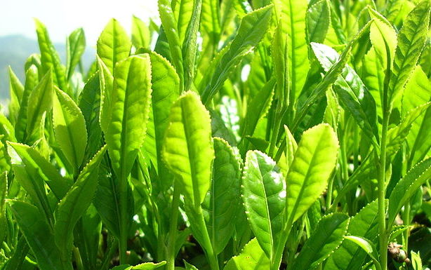 Thé vert et jeûne : un allié précieux à recommander