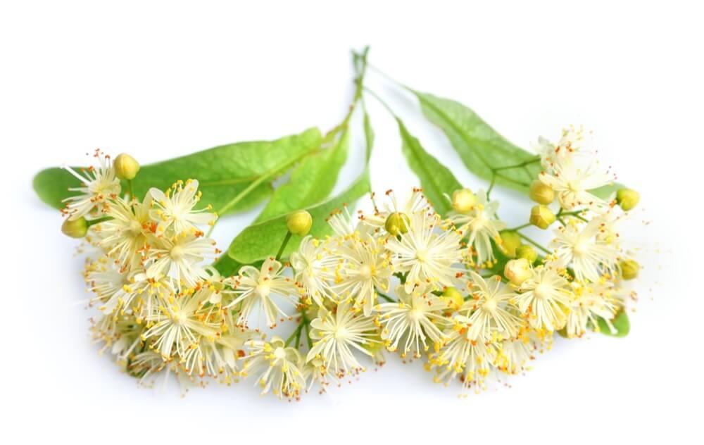 fleurs de tilleul sur fond blanc