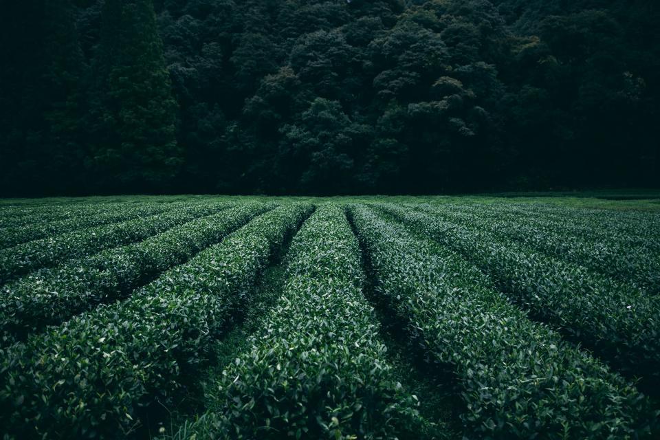 Ito En : ce producteur de thé japonais qui recycle son thé en papier