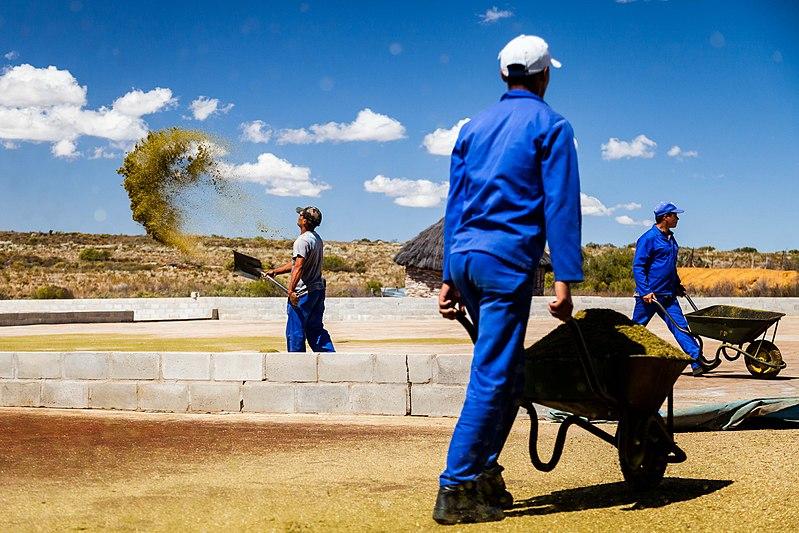 ouvriers sur une ferme de rooibos