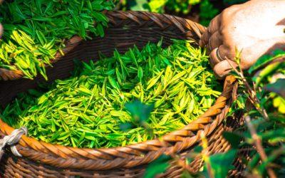Les secrets du thé vert : culture, bienfaits, préparation…