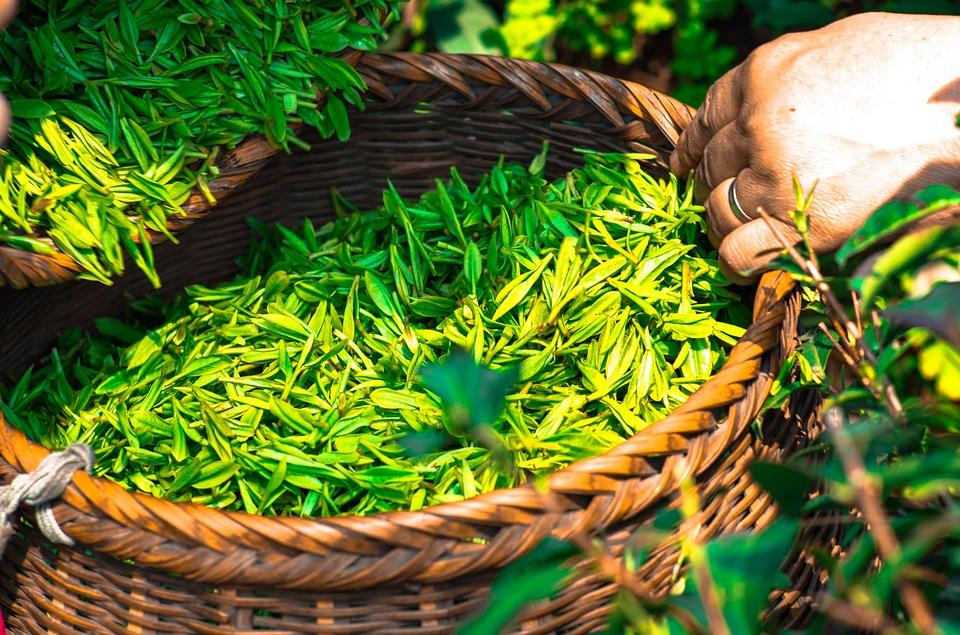 Thé vert : ce que vous devez savoir pour bien choisir