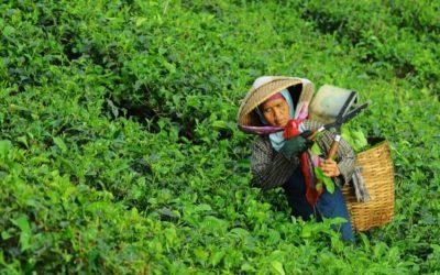 Thé bio et pesticides : voilà ce que vous devez savoir