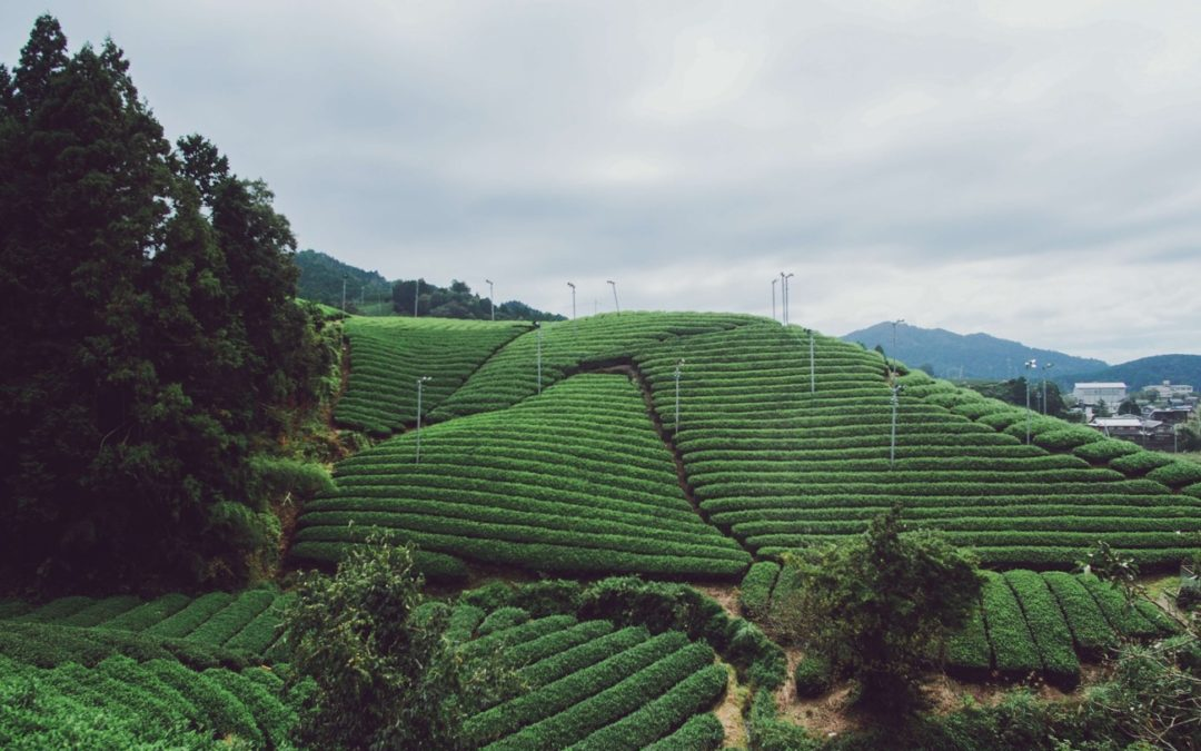 plantation de thé Bancha au Japon