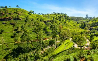 Thé Darjeeling : 4 conseils indispensables pour mieux le choisir