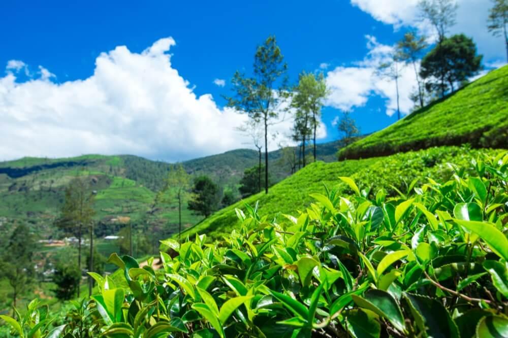 théier à flanc de colline à Darjeeling