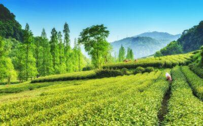 Quel est le meilleur thé vert ?