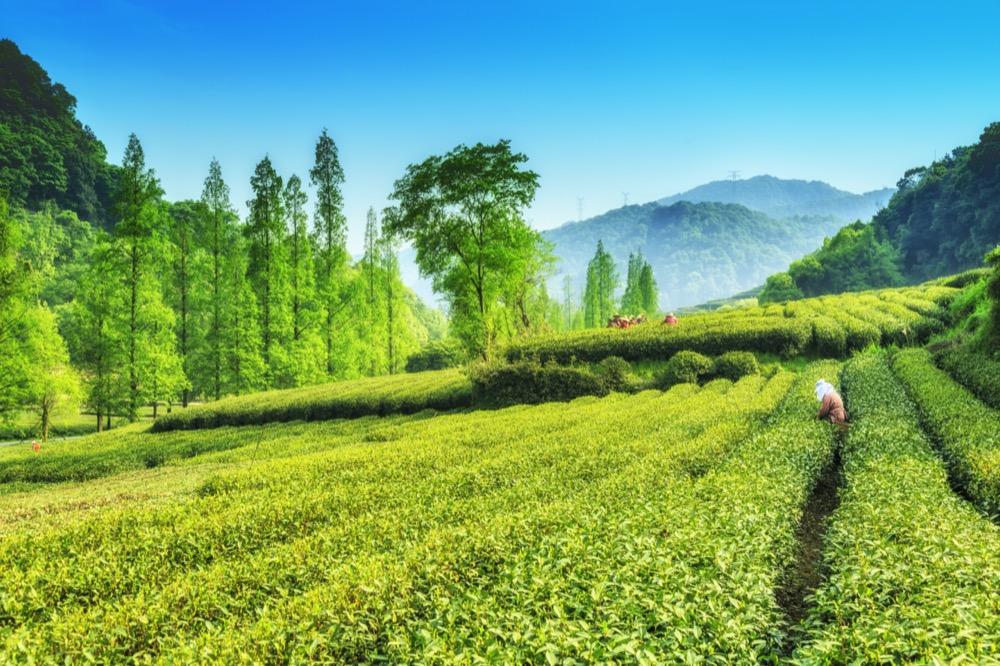 plantation du meilleur thé vert Long Jing