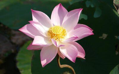 Tout savoir sur le thé au lotus en 5 questions