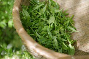 Feuilles de thé vert