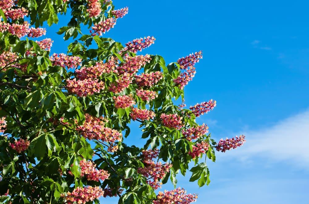 fleur marronnier d'Inde